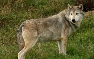 Der Wolf und das Anthropozän